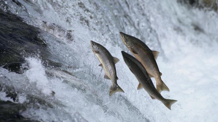 salmon-swim-upstream_d555480847e93dcc.jpg